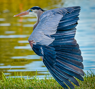 Blue Heron Picture