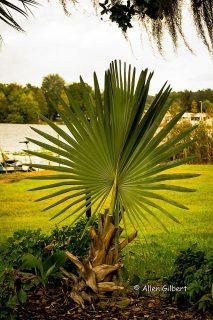 Picture of Palmetto Plant